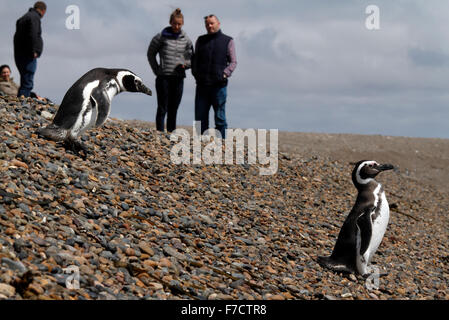 Magellanic Penguins walk across a shingle bank n front of tourists, on the way to the sea - Stock Photo