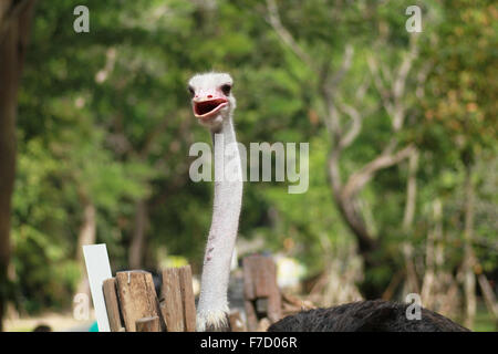 Wild ostrich stares into the camera with its curious gesture. - Stock Photo
