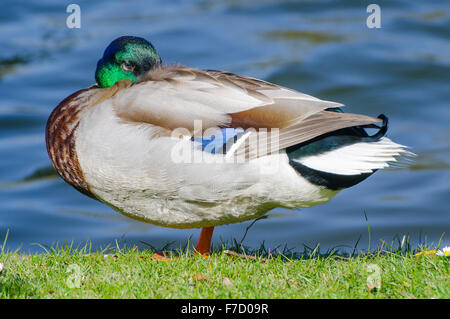 Drake Mallard duck (Anas platyrhynchos) standing on grass by the water in the UK. - Stock Photo