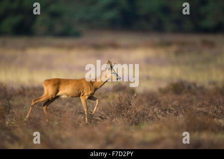 Roe deer / Buck / Reh ( Capreolus capreolus ) walks calmly over open dry grassland, with herbs in its mouth. - Stock Photo