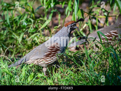A Gambel's Quail (Callipepla gambelii) in the Desert Southwest. Tucson, Arizona, USA. - Stock Photo