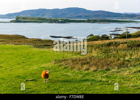 Loch na Keal, Ulva and Inch Kenneth islands from Balnahard, Isle of Mull, Argyll & Bute, Scotland UK.  Orange ram - Stock Photo