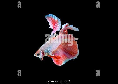 betta fish half moon - Stock Photo