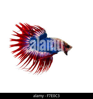 betta fish half moon - Stock Photo