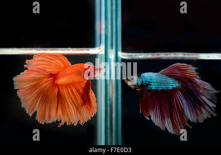 siamese fighting fish confronting - Stock Photo