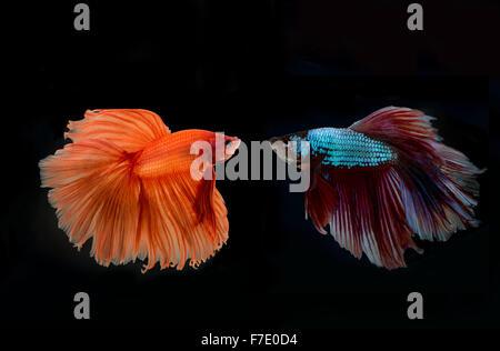 siamese fighting fish confronting - Stock Photo