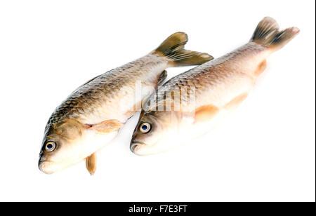 Freshly fish Crucian carp (Carassius auratus gibelio) isolated on white - Stock Photo