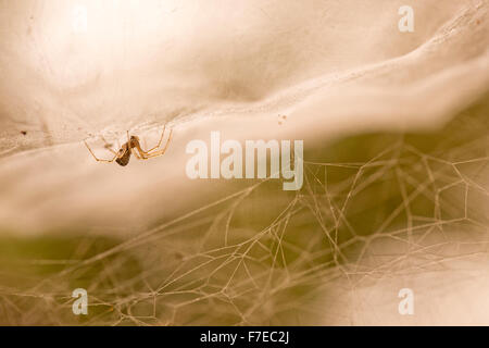 sheet weaver or sheetweb spider (Linyphiidae). A sheetweb spider clinging to the lower surface of its web. Photographed - Stock Photo