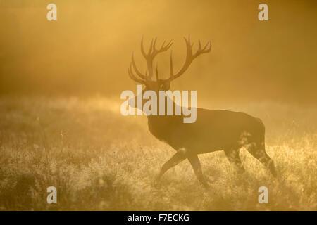 Red deer (Cervus elaphus), stag in first light, dewy meadow and fog, Zealand, Denmark