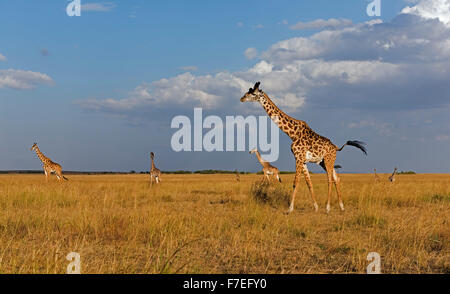 Giraffes (Giraffa camelopardalis), herd in evening light, Masai Mara, Narok County, Kenya - Stock Photo