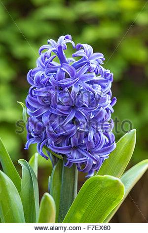 Hyacinthus orientalis  'Serene Blue' - Hyacinth - Stock Photo