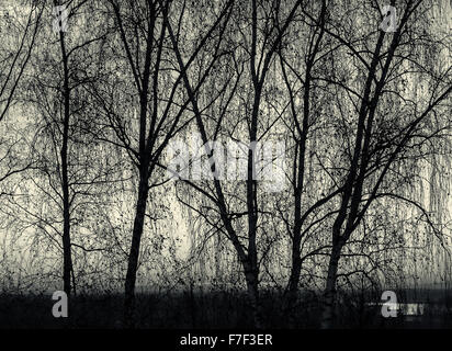 Rows of growing birch trees create a silhouette against a blue and pink sky at sunset in Monochrome black and white - Stock Photo
