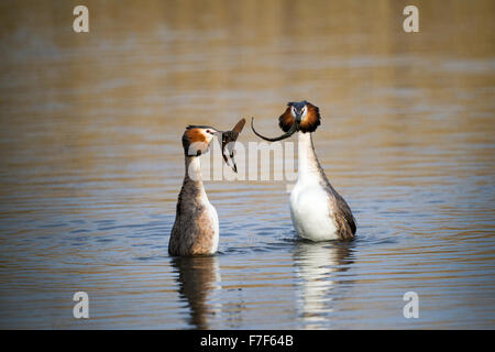 Great Crested Grebes Podiceps cristatus in weed dance display - Stock Photo