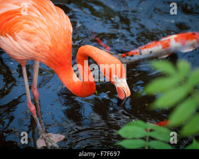 An American Flamingo (Caribbean Flamingo) in captivity at the Victoria Butterfly Gardens near Victoria, Canada. - Stock Photo