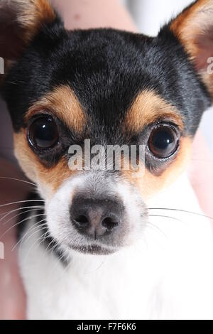CARDIFF, UK. OCTOBER 10 2015. A Jack russell cross dog looks intently into the camera. - Stock Photo