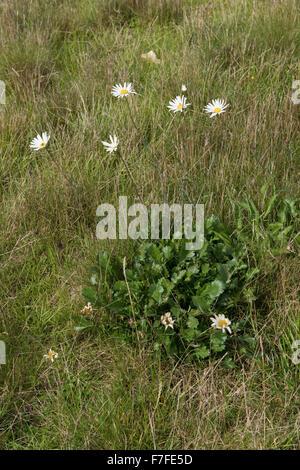 An ox-eye daisy, Leucanthemum vulgare, plant flowering in dry grassland in summer, Berkshire, September - Stock Photo