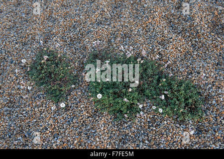 Sea campion, Silene uniflora, flowering in the shingle of Chesil Beach, Dorset, October - Stock Photo