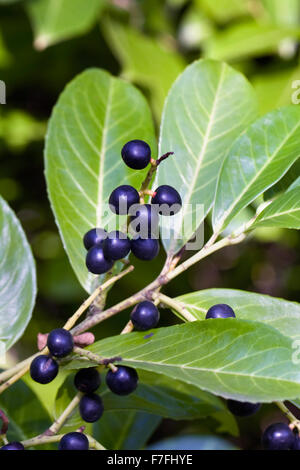 Prunus laurocerasus berries in Autumn. - Stock Photo