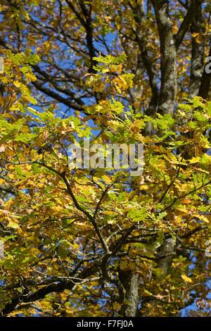 Quercus robur. English Oak tree in Autumn. - Stock Photo
