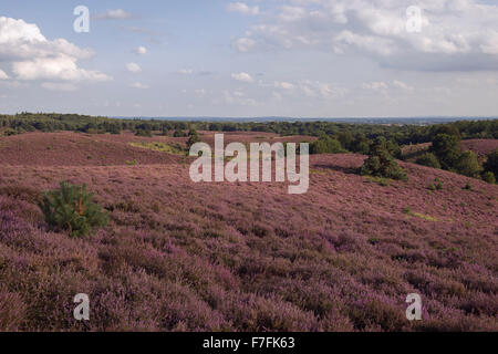 Endless hills, full with purple blooming heather, summertime in National Park Veluwe, Netherlands. - Stock Photo