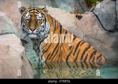 Amur tiger in the water at the Indianapolis Zoo, Indianapolis, IN, USA. - Stock Photo
