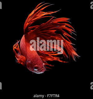 Betta fish, siamese fighting fish, betta splendens - Stock Photo