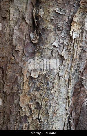 Aesculus Hippocastanum. Horse chestnut tree bark - Stock Photo