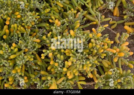 A succulent Tetraena fontanesii around salty pools, Lanzarote. - Stock Photo