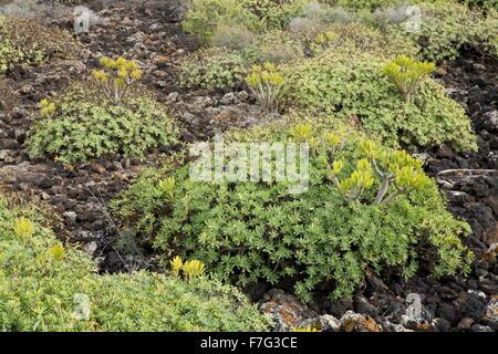 Two Canaries succulents, Verode (Kleinia neriifolia), and Balsam Spurge, Euphorbia balsamifera.  Lanzarote.