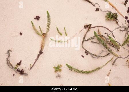 Sea spurge, Euphorbia paralias growing on coastal sand, Lanzarote. - Stock Photo
