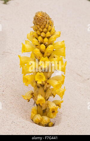 Yellow Cistanche, a parasitic member of the broomrape family, Cistanche phelypaea, on sand dunes. Parasitic on Chenopodiaceae. L