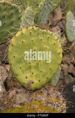 A prickly pear, Opuntia robusta, from Mexico - Stock Photo