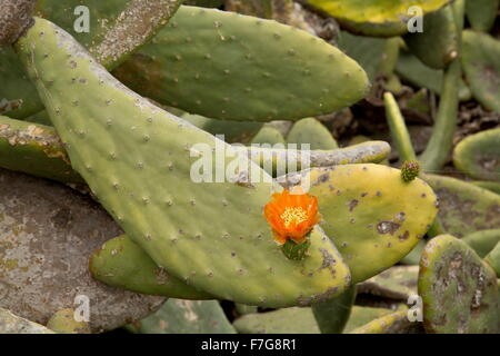 Prickly pear, Opuntia ficus-indica, in cultivation, with flowers; North Lanzarote, primarily for cochineal production. - Stock Photo