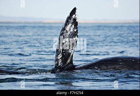 pr0211-D. Gray Whale (Eschrichtius robustus) on its side, with pectoral flipper upright. Baja, Mexico. Photo Copyright - Stock Photo