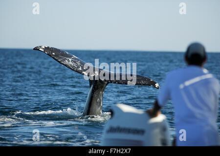 pr0327-D. Gray Whale (Eschrichtius robustus) tail flukes. Baja, Mexico.  Photo Copyright © Brandon Cole. All rights - Stock Photo