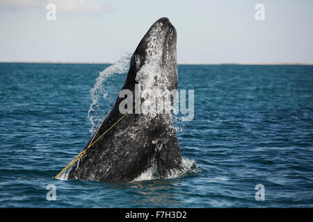 pr5272-D. Gray Whale (Eschrichtius robustus) breaching, juvenile entangled in a lobster trap line. The rope is caught - Stock Photo