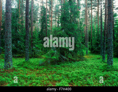 Agriculture pine forest in Uppland, Sweden - Stock Photo