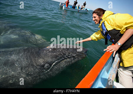 pr0101-D. Gray Whales (Eschrichtius robustus). Baja, Mexico, Pacific Ocean. 'Friendlies'- mom and baby- approach - Stock Photo