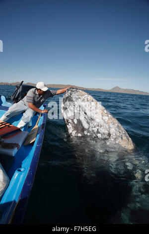 pr7208-D. Gray Whale (Eschrichtius robustus) spyhopping alongside boat. Magdalena Bay, Baja, Mexico. Copyright © - Stock Photo