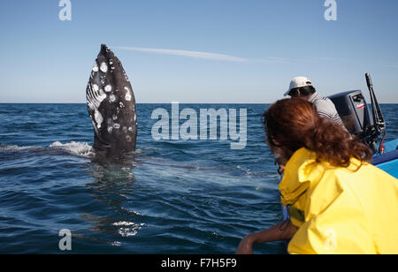 pr7244-D. Gray Whale (Eschrichtius robustus), on its side with pectoral flipper upraised. Baja, Mexico. - Stock Photo