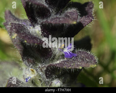 Fragment of inflorescence of pyramidal bugle (Ajuga pyramidalis) - Stock Photo