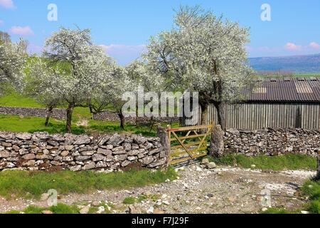 Lyth Valley. Damson tree orchard in blossom. Flodder Hall Farm, The Howe, Lake District National Park, Cumbria, - Stock Photo