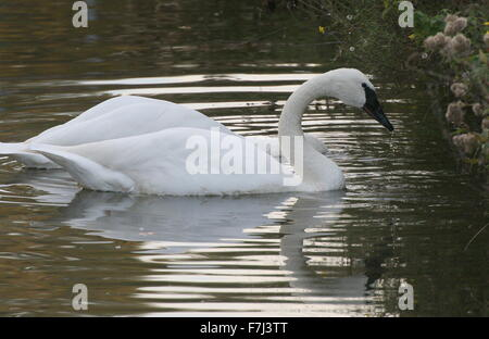 Pair of two North American Trumpeter Swans (Cygnus buccinator) foraging in a lake - Stock Photo