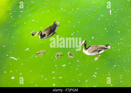 mallard ducks and baby ducklings swimming in a pond - Stock Photo