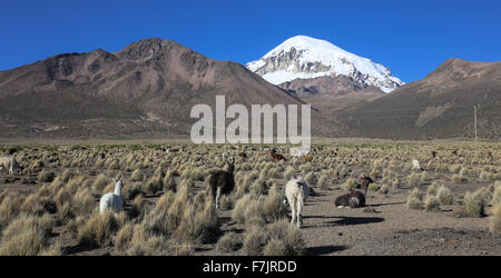 The Andean landscape with herd of llamas, with the Sajama volcano on background. - Stock Photo