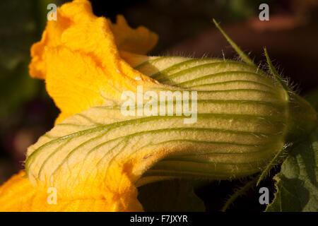 Winter Squash (Cucurbita Maxima) edible flower, showing veined petals in cream, bright green and bright yellow - Stock Photo