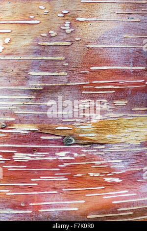 Betula Albosinensis 'Red Panda'. Chinese red birch tree bark - Stock Photo