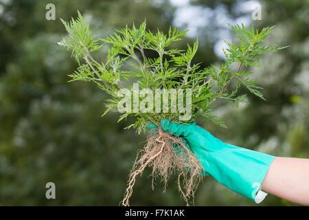 Annual Ragweed, Ragweed, Ambrosie, Ambrosia, Beifußblättriges Traubenkraut, Aufrechtes Traubenkraut, Ambrosia artemisiifolia - Stock Photo