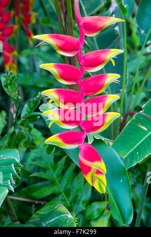 Heliconia, Flower, Hawaii - Stock Photo