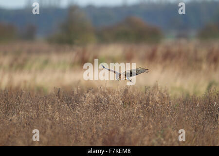 juvenile male Hen Harrier in flight over rough field - Stock Photo